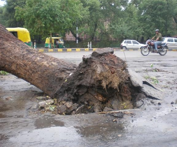 tree-felled-at-gol-dak-khana